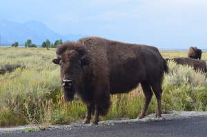 Big buffalo, not really giving a shit about the 45lbs dog freaking out in the Jetta driving by.