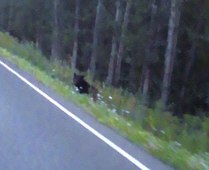 One of the 7 black bears. If we had stopped for a clear picture it would've been another buffalo incident.