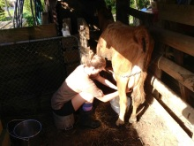 Lindsay milking a cow for the first time