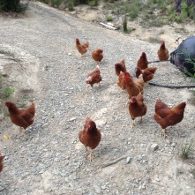 Don't forget about the chickens... 40 of them!