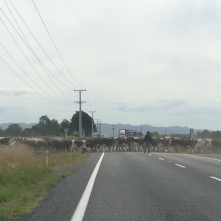 Cattle crossing the 2nd busiest road in New Zealand. No warning, no signs... just a road cone an a farmer.