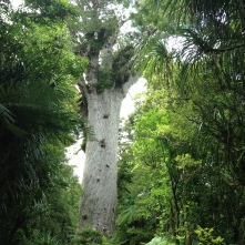 The biggest Kauri Tree of NZ, 2,000yrs old.