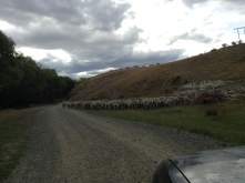 And then we had a herd of sheep on our way to the camping site...