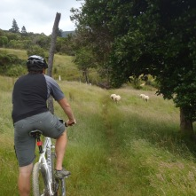 Sheep on the trail, surprsingly normal in New Zealand
