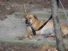 Hunter, sleeping in a horseshoe pit... he gets hot.