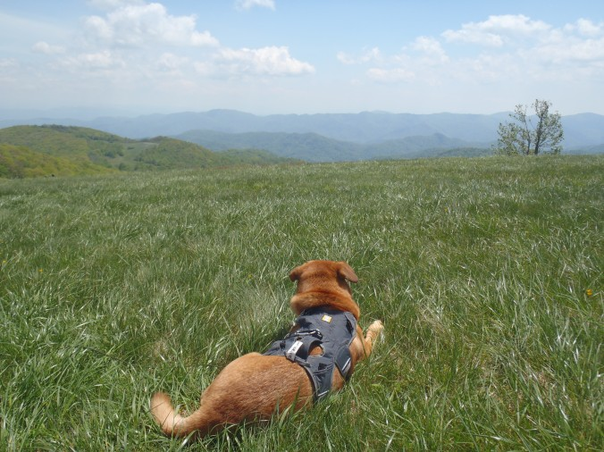 Hunter loving life in the cool breeze on Max Patch Bald