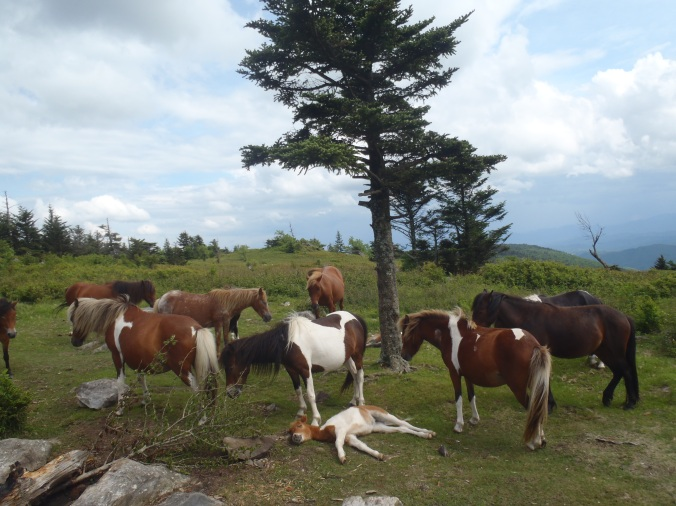 The herd of Grayson Highland ponies that we played with!