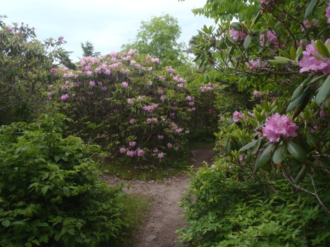 The flowers are blooming in a mile long rhododendron garden.